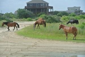 obx wild horses